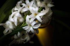 Hiacinth lizenzfreie stockbilder
