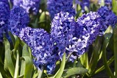 Hiacinth azul Foto de archivo