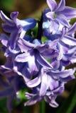 hiacynt Fotografia Royalty Free