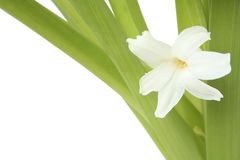 hiacynt kwiaty Fotografia Stock