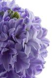 hiacynt odizolowane kwiat Fotografia Stock