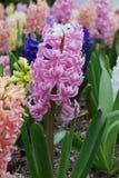hiacynt ogrodowa wiosny Zdjęcia Stock
