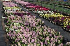 Hiacynt Pole kolorowa wiosna kwitnie hiacynt rośliny w garnkach z żarówkami w szklarni na świetle słonecznym dla sprzedaży motyla Zdjęcie Stock