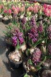 Hiacynt Pole kolorowa wiosna kwitnie hiacynt rośliny w garnkach z żarówkami w szklarni na świetle słonecznym dla sprzedaży motyla Obraz Stock
