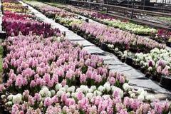 Hiacynt Pole kolorowa wiosna kwitnie hiacynt rośliny w garnkach z żarówkami w szklarni na świetle słonecznym dla sprzedaży motyla Fotografia Royalty Free