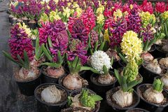 Hiacynt Pole kolorowa wiosna kwitnie hiacynt rośliny w garnkach z żarówkami w szklarni na świetle słonecznym dla sprzedaży motyla Obraz Royalty Free