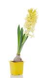 Żółty hiacynt Zdjęcia Royalty Free