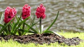 Hiacynt w kwiatu parku zdjęcie wideo