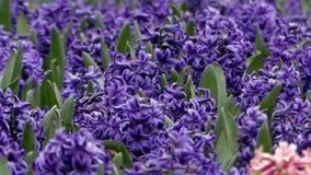Hiacynt w kwiatu parku zbiory wideo