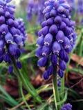 hiacynt winogronowy zdjęcie stock