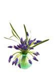 hiacynt winogronowy Fotografia Stock