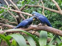 Hiacyntowa ara zdjęcie royalty free