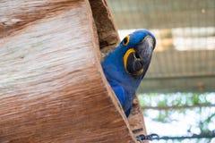 Hiacyntowa ara lub Hyacinthine ara w drewnianym gniazdeczku Zdjęcie Royalty Free