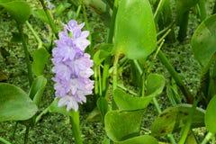 Hiacyntowa purpurowa wodna leluja Obraz Royalty Free