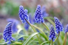 Hiacyntowi kwiaty obrazy stock