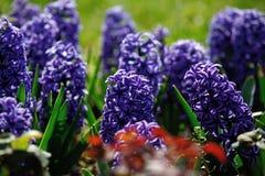 Hiacyntowi kwiaty obrazy royalty free