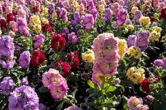 Hiacyntowi roślina kolory fotografia royalty free