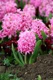 hiacyntowy hyacinthaceae Zdjęcia Stock