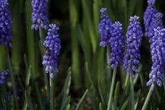 Hiacyntowy kwiat i pszczoła na zimie obraz stock