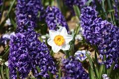 Hiacyntu i narcyza Daffodil Pole kolorowa wiosna kwitnie hiacynt na świetle słonecznym motyla opadowy kwiecisty kwiatów serca wzo Zdjęcie Stock