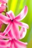 hiacyntu różowy kwiat Zdjęcie Royalty Free