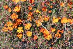 Hibbertia Stellaris Orange Stars  Wildflower Stock Image