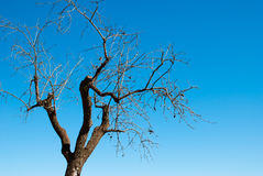 Hibernating almond tree. Dry hibernating almond tree against blue sky Royalty Free Stock Images