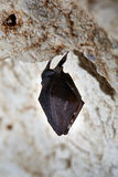 Hibernating bat Stock Photo