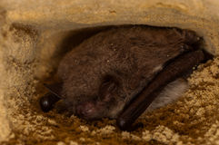 Hibernating Bat Myotis Royalty Free Stock Photo