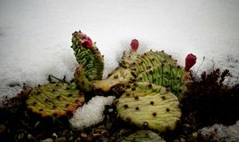Hibernating in the open ground cacti, in the spring under the sn. Ow, Ukraine Stock Photo