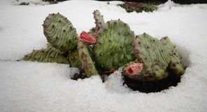 Hibernating in the open ground cacti, in the spring under the sn. Ow, Ukraine Royalty Free Stock Photo