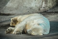 Hibernating polar bear royalty free stock photo