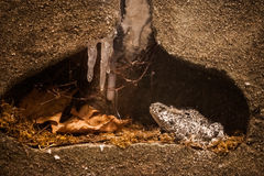 Hibernation. Frozen Frog In Its Winter Habitat Stock Photos