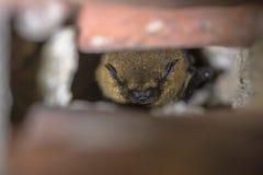 Hiberner la batte de pipistrelle images libres de droits