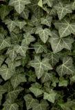 Hibernica del Hedera dello scalatore conosciuto come l'edera Fotografie Stock Libere da Diritti