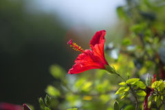 Hibescus flower. Hibiscus flower in a Garden in old Cairo Stock Photo