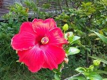 hibicus в саде Стоковое Изображение