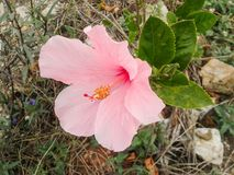 pink Chinese hibiscus flower Royalty Free Stock Image