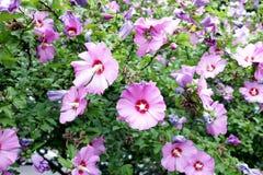 Hibicus flowers Stock Image