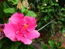 Hibicus rosado grande foto de archivo libre de regalías