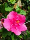 Hibicus rosado grande foto de archivo