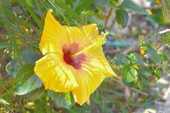 Hibisceae Royalty-vrije Stock Foto