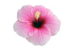 Hibisco Fotografía de archivo libre de regalías