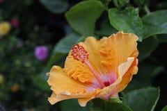 hibisco Imagen de archivo
