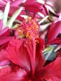 hibisco Foto de archivo libre de regalías