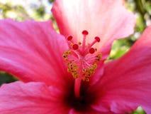 hibisco Fotos de archivo libres de regalías