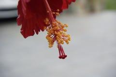 hibisco Fotos de archivo