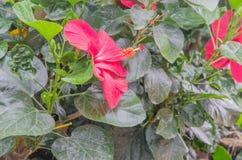 hibisco Imagenes de archivo