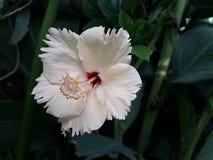 hibisco Fotografía de archivo