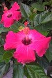 hibisco Imagen de archivo libre de regalías